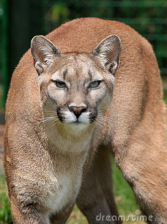 Free Mountain Lion Stock Photo - 9720960