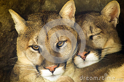Mountain Lion Affectionate Pair Sleep Together in