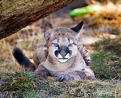 Mountain Lion Cougar Kitten Hiding