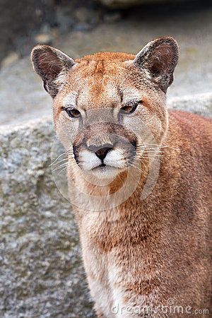 Mountain Lion Cougar Puma Concolor Looking