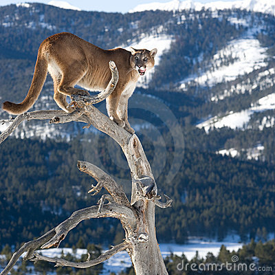 Mountain Lion in dead tree