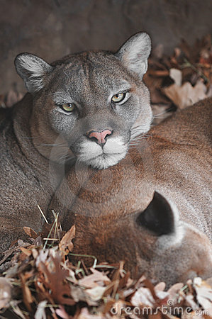 Mountain Lion Gaze