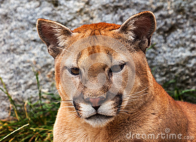 Mountain Lion Head Cougar Looking at You
