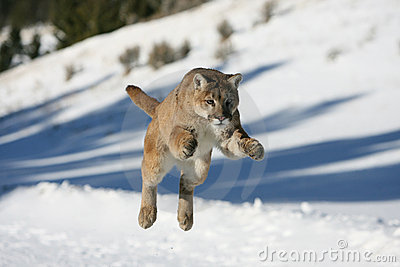 Mountain Lion Jumping Stock Photography Image 10506302