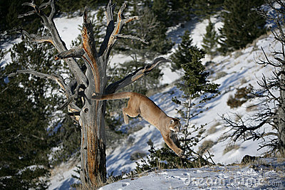 Mountain Lion Jumping from a Dead tree