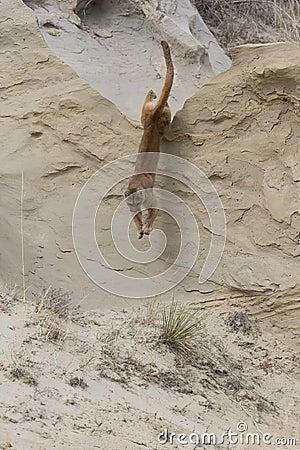 Free Mountain Lion Leaping Of Tall Ridge Stock Photos - 42658993