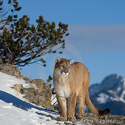 Mountain Lion Looking into Valley
