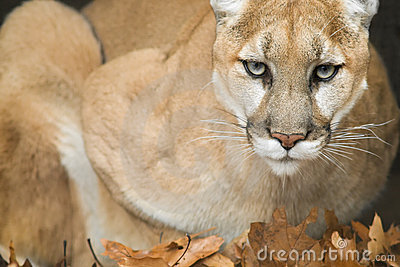 Mountain Lion (Puma concolor) Portrait