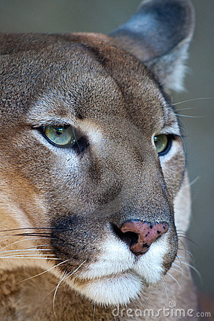 Free Mountain Lion - Puma Portrait Royalty Free Stock Images - 15839089