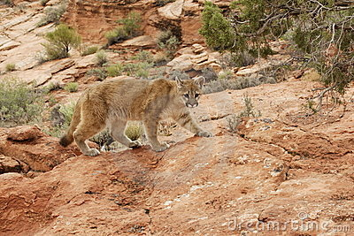 Mountain Lion Red Rock Country