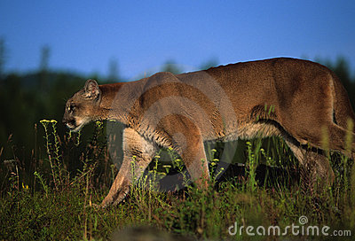 Mountain Lion Stalking Prey