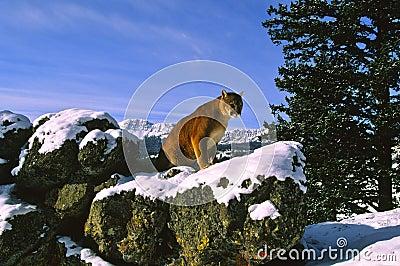 Mountain Lion in Winter