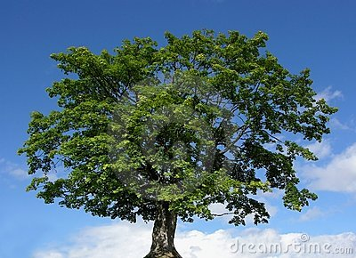 Mountain maple tree and blue sky