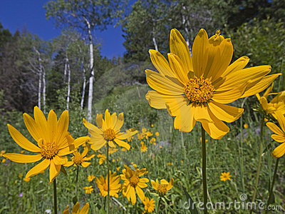Mountain meadow view of Aspen and Arnica Sunflower