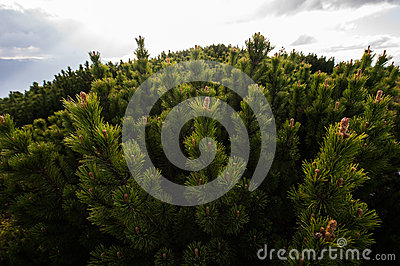 Mountain pine reserve - Maramures, Romania