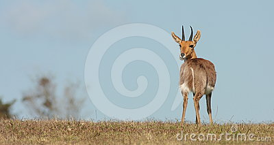Mountain Reedbuck ram poses in South Africa