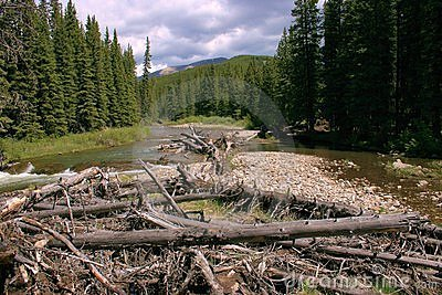 Mountain river; driftwood; spruce trees