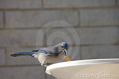 Mountain scrub jay
