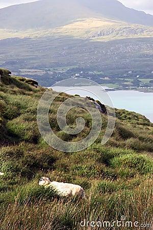 Mountain sheep 5