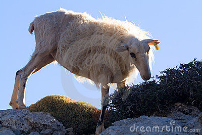 Mountain sheep crete 1