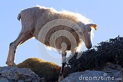 Mountain sheep crete 1