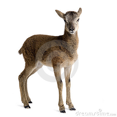 Free Mountain Sheep Of The Alps Royalty Free Stock Image - 2781226