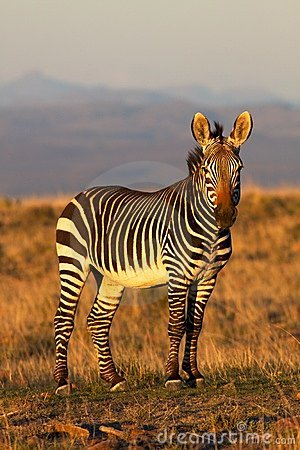 Free Mountain Zebra Stock Photography - 15103882