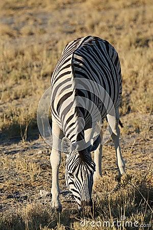 Free Mountain Zebra Stock Photos - 36198113