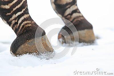 Mountain zebra detail
