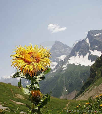 Mountains flower