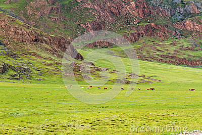 Mountains landscape grazing cows