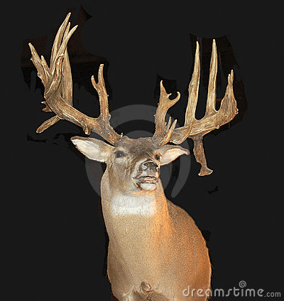 Mounted Buck with Antlers
