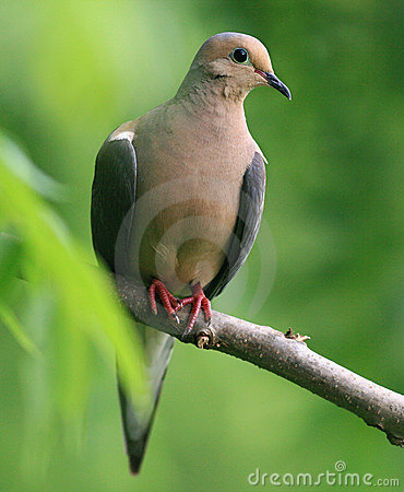 Free Mourning Dove Royalty Free Stock Photo - 15788435