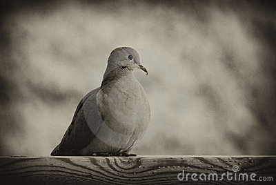 Mourning Dove in Black and White