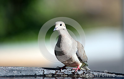 Mourning Dove II