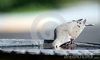 Mourning Dove III