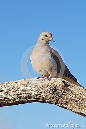 Mourning Dove on Log
