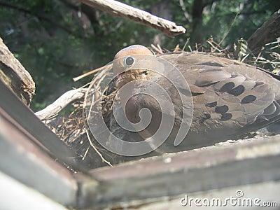 Mourning dove on nest