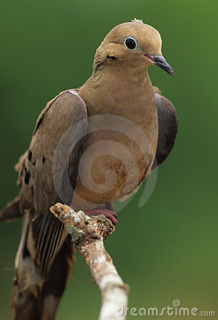 Free Mourning Dove On Branch Royalty Free Stock Image - 8968226