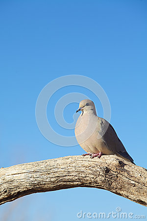Mourning Dove Perched on Log