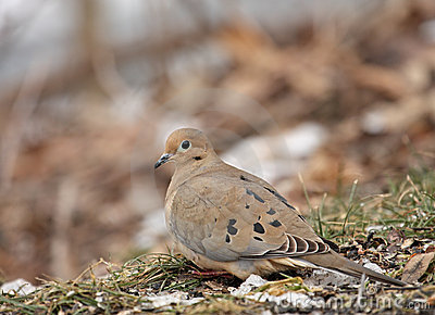 Mourning Dove (Zenaida macroura}