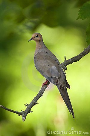 Free Mourning Dove (Zenaida Macroura) Stock Photos - 22460923