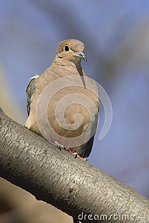 Mourning Dove (Zenaida macroura carolinensis)