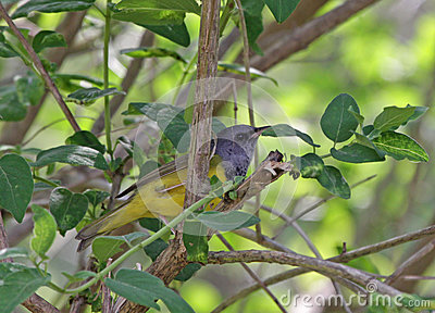 Mourning Warbler