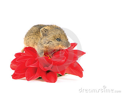 Mouse on the flower