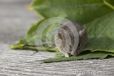 Mouse on the leaf
