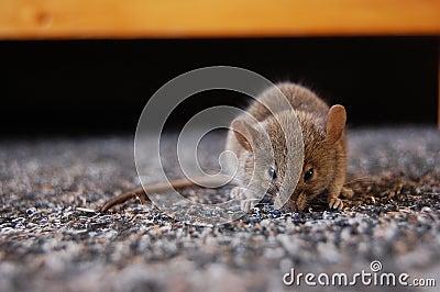 Mouse s Secret