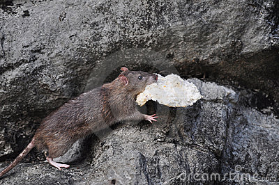 Mouse stealing a bread