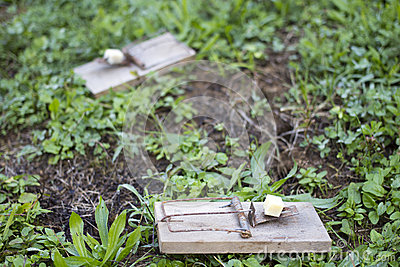 Mouse traps on garden lawn