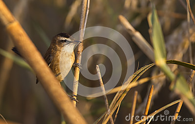 Moustached Warbler on Reed